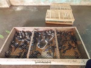 Pássaros da espécie Azulão foram apreendidos em Feira de Santana, na Bahia (Foto: Lílian Marques/ G1)