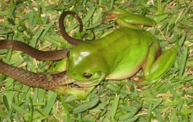 Em dezembro de 2009, o australiano Ian Hamilton fotografou um sapo devorando uma cobra em Mackay (Austrália). (Foto: Reprodução)