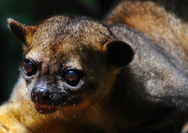 As florestas amazônica, atlântica e as matas de galeria no cerrado são os habitats dessa espécie (Foto: Carlos Alberto Coutinho / TG)