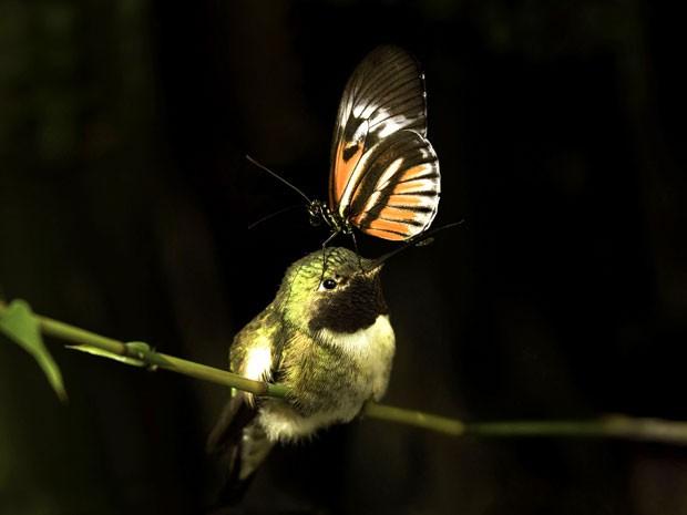 Borboleta foi fotografada sobre o bico de um beija-flor (Foto: Caters News/Jamie Felton)