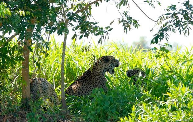 Enquanto os machos gritam entre si e distribuem 'patadas', a fêmea parece não se importar pela disputa (Foto: Divulgação/Douglas Trent/Projeto Bichos do Pantanal)