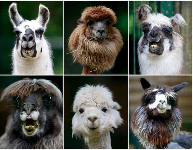 Lhamas exibem expressões faciais curiosas em zoológico alemão (Foto: Michael Dalder/Reuters)