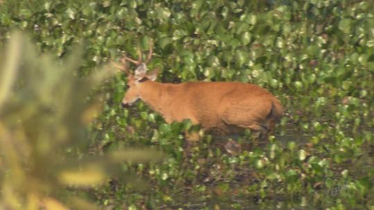 Pesquisadores da Unesp são premiados por preservar espécie de cervo em extinção no interior de SP