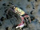 Poluição provoca o aparecimento de caranguejos 'mutantes' no litoral de SP
