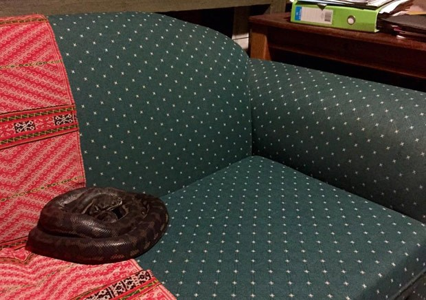 Helen Mitting-Forbes voltou de férias e encontrou cobra de 2 metros enrolada no sofá de seu consultório (Foto: Reprodução/Facebook/Sunshine Coast Snake Catchers)