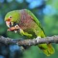 Aves e outros animais do Brasil (Rudimar Narciso Cipriani)