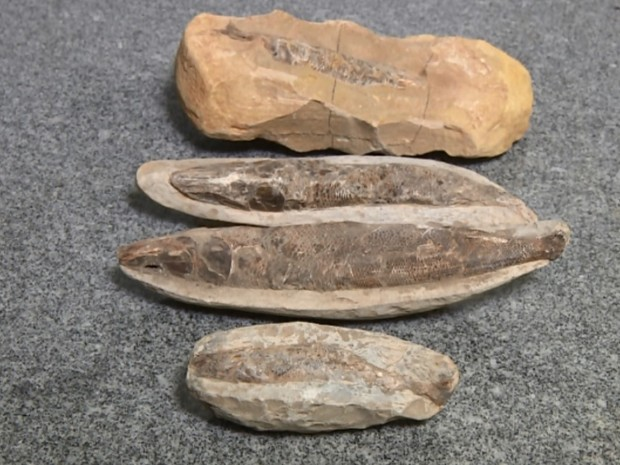 63 fósseis foram enviados para análise; cinco tinham corações inteiros  (Foto: Reprodução / EPTV)