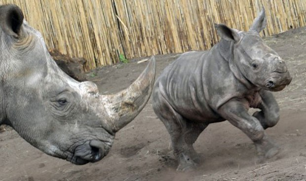 Segundo uma organização ambiental, os rinocerontes-brancos estão ameaçados de extinção (Foto: Holger Hollemann/AFP)