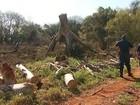 MP instaura inquérito sobre extração ilegal de madeira em Ribeirão Preto