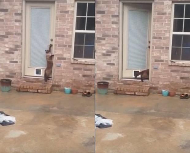 Gato ficou em pé e puxou maçaneta para conseguir abrir a porta (Foto: Reprodução/YouTube/Philo Cat)