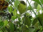 GO e SP lideram focos de ferrugem em lavoura comercial de soja