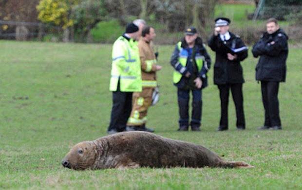 Foca foi encontrada em campo de fazenda na Inglaterra (Foto: Reprodução/Twitter/Colin Lane)