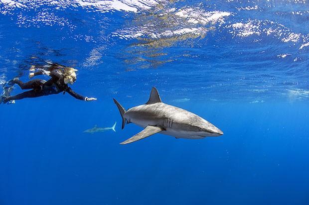 tubarão-das-Galápagos (Foto: Divulgação/André Botelho)