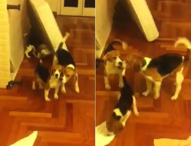 Beagles depois de terem sido resgatados  (Foto: Reprodução / Facebook)