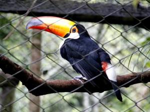 Tucano é uma das aves que habitam o Parque Ecológico Municipal (Foto: Fabio Rodrigues/G1)