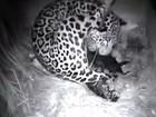 Vídeo raro mostra nascimento de filhotes de onça-pintada em Goiás