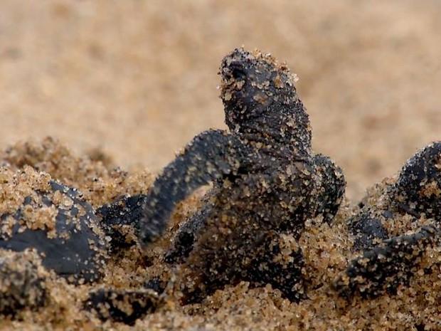 Regência é um dos maioes polos de desova de tartaruga no Brasil (Foto: Reprodução/TV Gazeta)