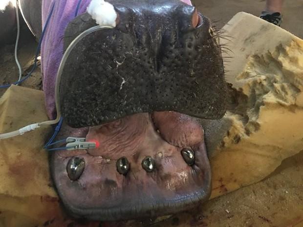 O hipopótamo Yago, do Aquário de Natal, ganhou próteses dentárias de metal (Foto: Claudio Moura)