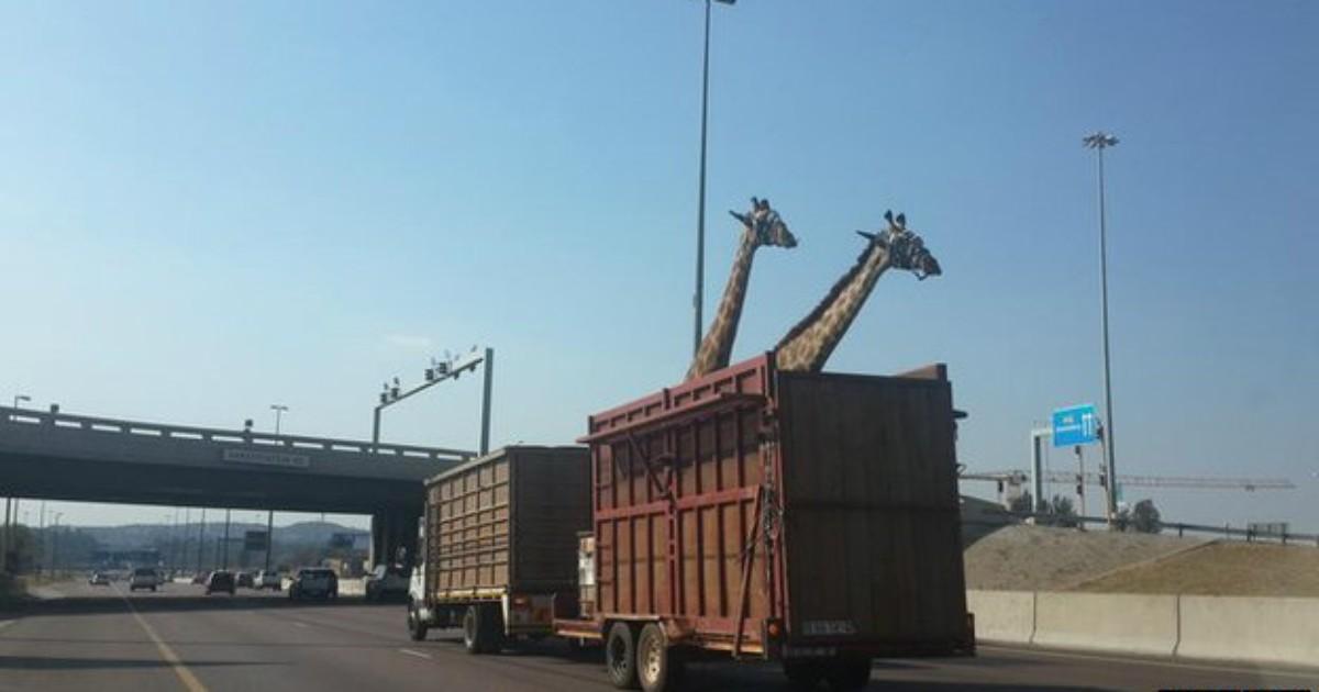 Girafa morre na África do Sul após se chocar contra uma ponte