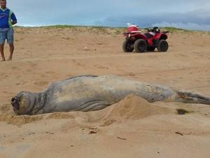Elefante-marinho Fred reaparece no Norte do Espírito Santo (Foto: Raposo Coelho/ Foto leitor - A Gazeta)