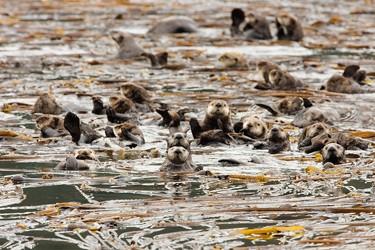 Lontras (Foto: Divulgação/Arthur Morris/University of California Santa Cruz)