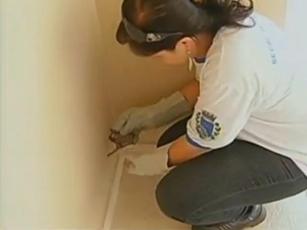 Recolha dos morcegos devem ser feitas por vigilantes da saúde (Fot Reprodução / TV TEM)