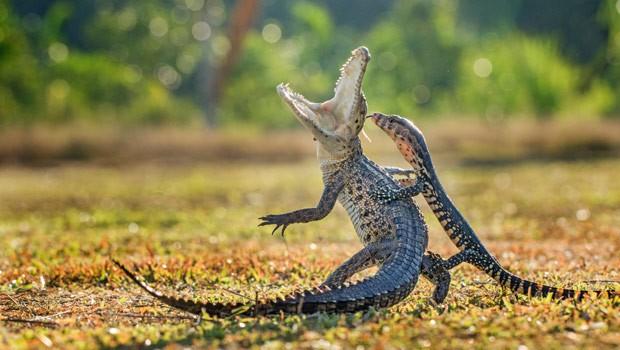 Crocodilo levou susto depois que lagarto atrevido saltou sobre ele (Foto: Hendy Mp/Solent News/Grosby Group)