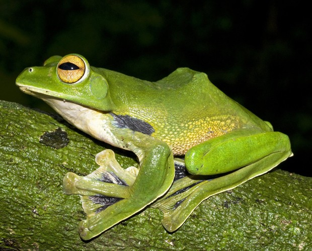 Perereca da espécie recém-descoberta 'Rhacophorus helenae', identificada no Vietnã (Foto: Jodi Rowley/Museu Australiano/Reuters)