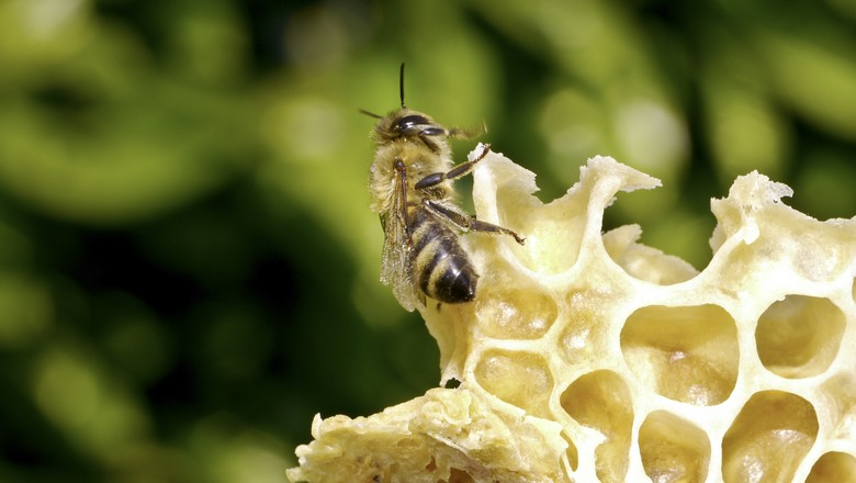 abelha-cera-apicultura-mel- (Foto: Divulgação/Bayer)