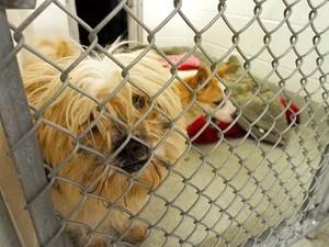 Cachorro sul-coreano que viraria comida tem chance de vida nova nos EUA (Foto: AFP Photo/Robert MacPherson)