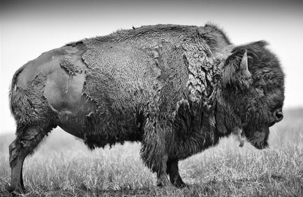 O búfalo americano, ou bisão, é o maior mamífero da América do Norte (Foto: Heidi & Hans-Jürgen Koch/Edition Lammerhuber)