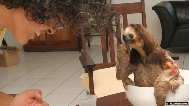 Monique Pool virou referência em resgate a bichos-preguiça no Suriname (Fot Stellar Tsang/BBC)