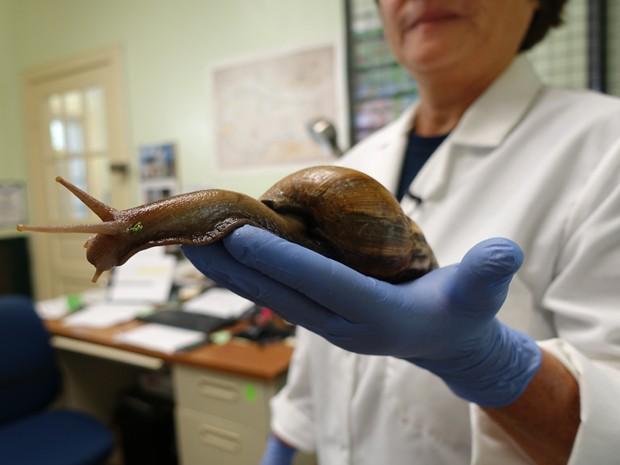 A cientista Mary Young Cong, do Departamento de Agricultura da Flórida, exibe um caracol gigante em seu laboratório em Miami, no dia 17 de julho (Foto: AFP Photo/Kerry Sheridan)