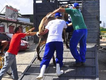 Cavalo é levado para Centro de Vigilância com indício de maus tratos em operação no Recife. (Foto: Inaldo Menezes/PCR)