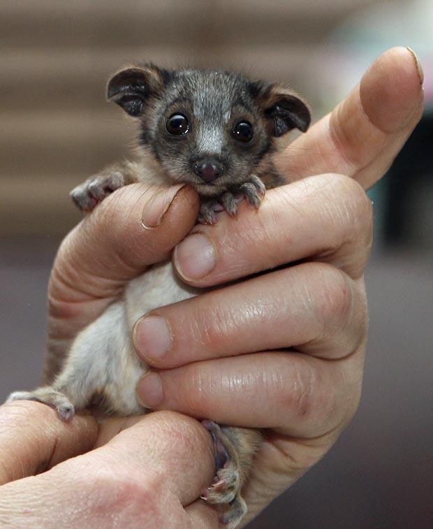 Um bebê de possum pesando apenas 50 gramas foi encontrado em Sydeney, na Austrália, por um passeador de cahchorros, nesta segunda-feira, 30 de julho (pela hora local). Um gato atacou e matou a mãe do animal. Todos os anos milhares de animais selvagens nativos da Austrália são resgatados por voluntários (Foto: AP)