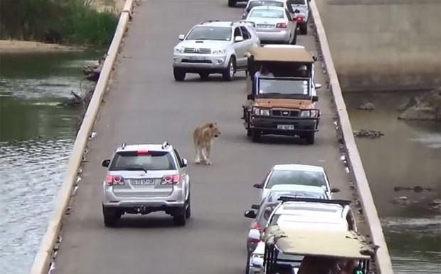Leão provocou 'congestionamento' em ponte no Parque Nacional Kruger (Foto: Reprodução/YouTube/Kruger National Park)