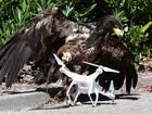 Polícia holandesa utiliza águias para capturar drones