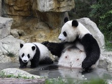 Filhote de panda brinca com a 