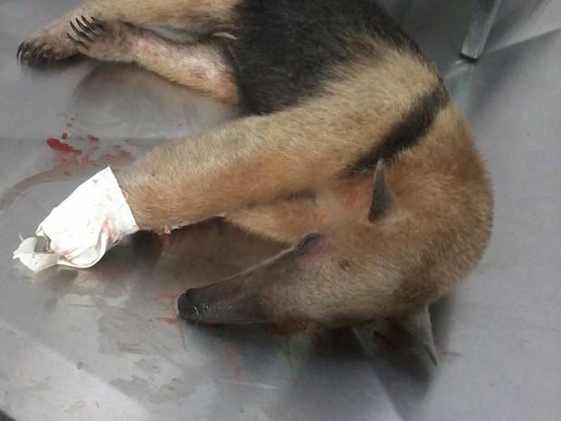 Animal receberá cuidados e depois será devolvido ao habitat natural (Foto: Divulgação/Polícia Militar Ambiental)