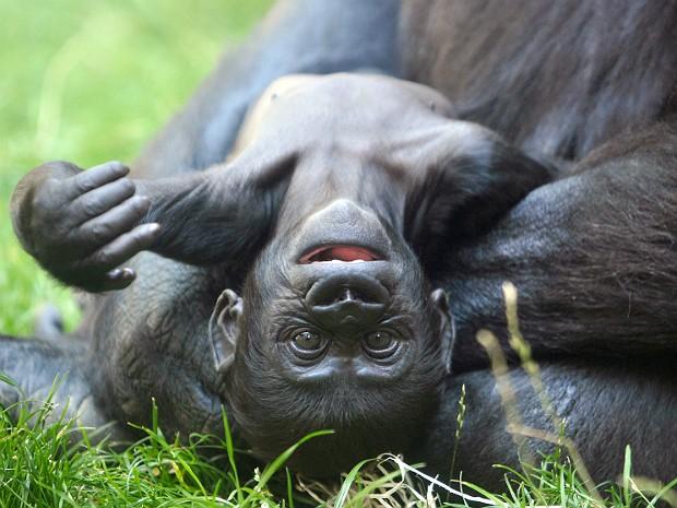 Gorila 1 (Foto: Michael Cizek/AFP)