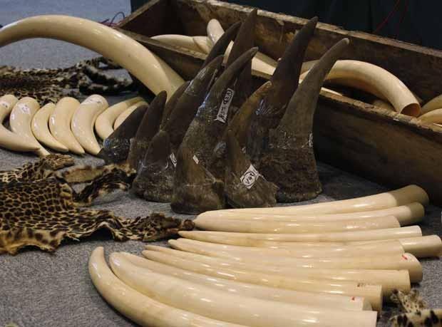 Chifres de rinoceronte (centro) e presas de marfim são catalogadas por funcionários da alfândega de Hong Kong. (Foto: Reuters/Bobby Yip)