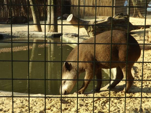 Zoológico de Sorocaba tem oito exemplares de anta e, por isso, compartilha alguns exemplares com outros parques (Foto: Natália de Oliveira/G1)