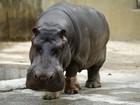 Após apanhar, bêbado diz ter sido atacado por hipopótamo nos EUA