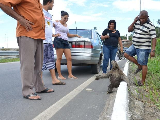 Um bicho-preguiça chamou atenção dos motoristas que passavam pelo acesso oeste de João Pessoa, próximo ao bairro do Alto do Mateus. Alguns carros chegaram a parar para não atropelar o animal. Os mais curiosos desceram dos veículos para tirar fotos. (Foto: Walter Paparazzo/G1)