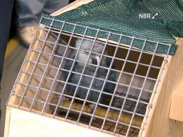 Ararinhas-azuis (Foto: Reprodução/TV Globo)