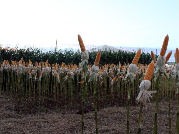 Feira de tecnologia traz soluções para cultivo em áreas de cerrado (Foto: Tatiane Queiroz/G1MS)