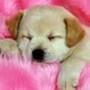 Papel de Parede: Labrador Puppy