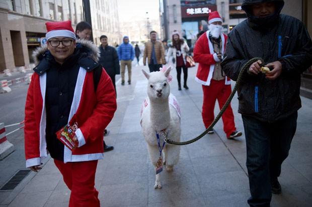 Chinês foi flagrado andando com alpaca por calçada de Pequim (Foto: Wang Zhao/AFP)