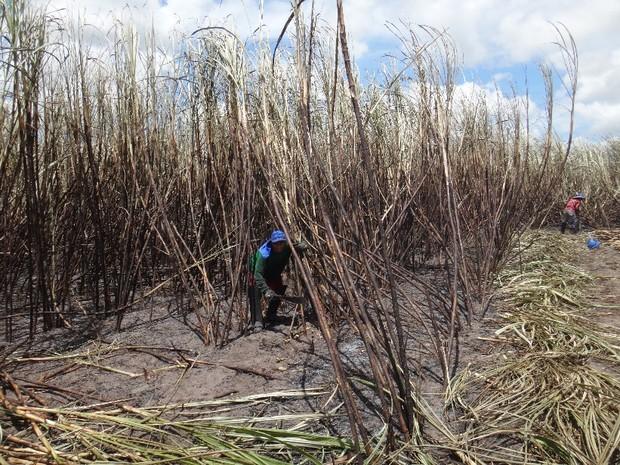 Pesquisa da UFSCar traçou perfil de cortadores de cana de Alagoas (Foto: Lúcio Verçoza/Arquivo Pessoal)