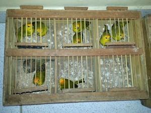Mais de 70 aves foram apreendidas (Foto: Capitão Edmilson Castro/Polícia Militar)